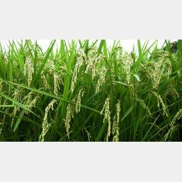 種が値上がりすれば米価格にも影響(C)日刊ゲンダイ