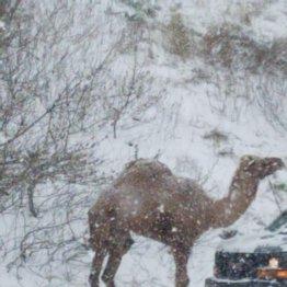 ドライバー大喜び 猛吹雪の国道にラクダが出現したワケは