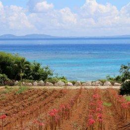 彼岸花畑から絶景ビーチを望む