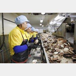 北海道の食品加工場でホタテの貝殻をむく技能実習生たち(C)共同通信社