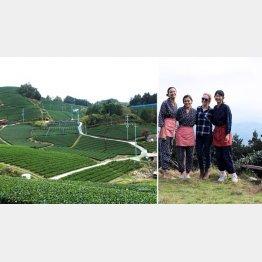 一面に広がる和束町の茶畑、外国人向けティーツアー(右)も人気(提供写真)