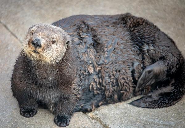 飼育ラッコに太ってる米水族館がセクハラ発言で大炎上日刊ゲンダイ