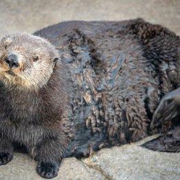 飼育ラッコに「太ってる」米水族館がセクハラ発言で大炎上