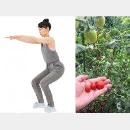 ひざを曲げてお尻を後方に突き出す、トマトの栽培は約2カ月ちょっとでこの通り(右)/(C)日刊ゲンダイ