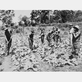 収容所内で耕作する日本人捕虜(C)共同通信社