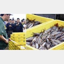 3日、北海道函館漁港で初水揚げされたスルメイカは前年並み(C)共同通信社
