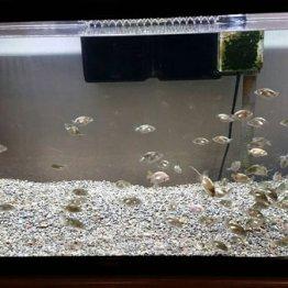 <2>三大産地・弥富市の「金魚畑」に感動して飼育スタート