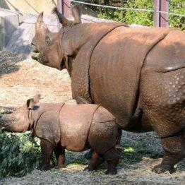 インドサイは体重2トン、赤ちゃんでも100キログラムある