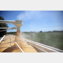 日本は余剰穀物の最終処理場として尻拭い(米イリノイ州の農場でトラックに積まれるトウモロコシ)(C)ロイター