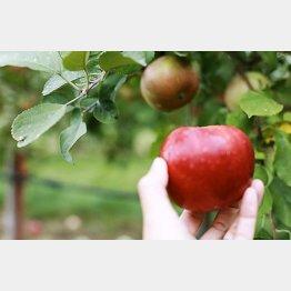 畑の木から直接もぐ。旬に食べるのがいい