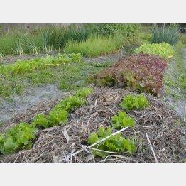 刈り取った草は刈った場所にバラまく(C)日刊ゲンダイ