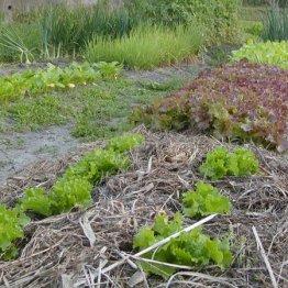 刈った場所にバラまく? 雑草を味方にする菜園テクニック