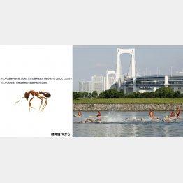 ヒアリは日当たりの良い広場や水辺などを好む(右は五輪会場となるお台場海浜公園)/(C)共同通信社