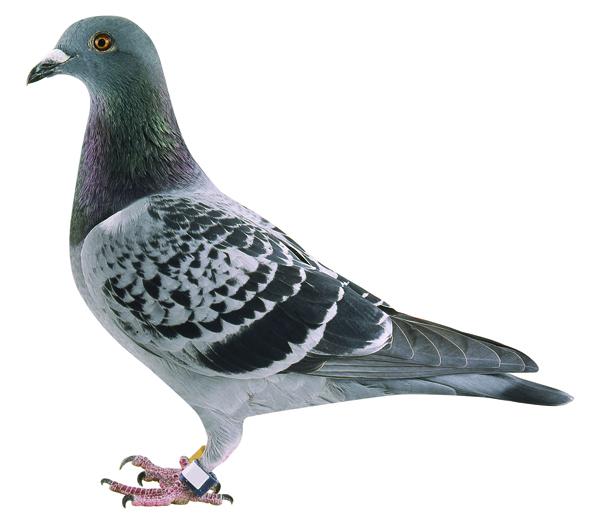 レース鳩。足環にICチップをつけている。(提供)一般社団法人日本鳩レース協会