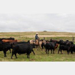 米国牛に罪はないが…(C)ロイター