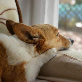 香港で飼い犬が新型コロナ陽性…ペットと自分を守る注意点
