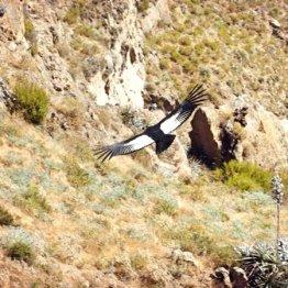 ペルー・コルカ渓谷「神の使い」コンドルに出合えることも