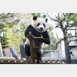 木登りする生後9カ月ごろのシャンシャン(東京動物園協会提供、2018年3月撮影)