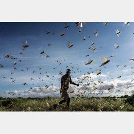収穫前の農作物を食べ尽くしながら移動する(バッタの群れを追い払おうとする男性=ケニア)/(C)ゲッティ=共同