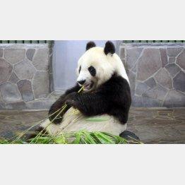 神戸市・王子動物園のパンダ「タンタン」/(提供写真)