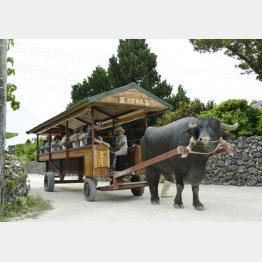 水牛車で散歩も楽しい(竹富島)/(C)共同通信社