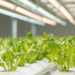 それならば農薬を使わない植物工場の野菜は健康的なのか?