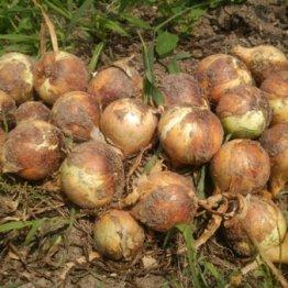 残留農薬が少ない野菜はアスパラ、サツマイモ、タマネギ