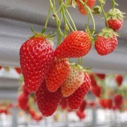 農薬漬けになりやすい果物はイチゴやブドウ…その理由は?