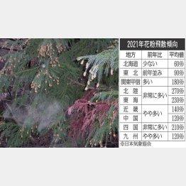 スギ花粉は昨シーズンの2倍との予想も(C)日刊ゲンダイ