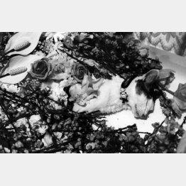 棺のチロ(「センチメンタルな旅・春の旅」から 2010年撮影)(提供写真)