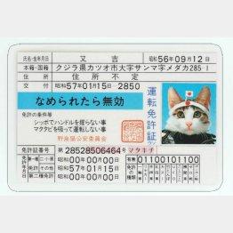 なめ猫免許証(又吉) (C)SATORU TSUDA/禁・複写&転載
