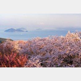 幻想的な紫雲出山の桜(香川県三豊市=ドローンエンターテインメント提供)