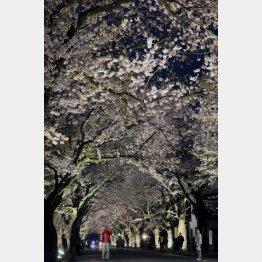 2018年4月6日、ライトアップされた夜ノ森の桜並木(写真)藤原亮司