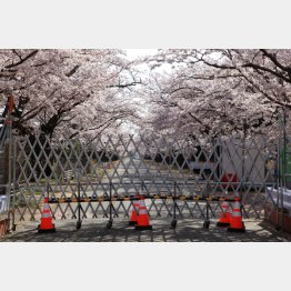 今も桜並木を分断する現在の帰還困難区域のゲート(写真)藤原亮司