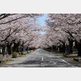 2011年4月17日、たまたま通りがかった夜ノ森で咲いていた満開の桜(写真)藤原亮司