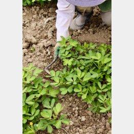 落花生の栽培は手がかからず初心者向き(提供写真)