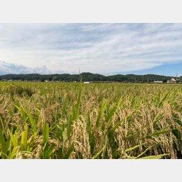 つや姫の田んぼの風景(提供写真)