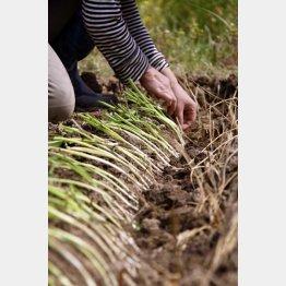 ネギ苗の植え付け(提供写真)