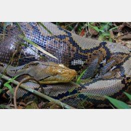 野生のアミメニシキヘビ(C)PIXTA