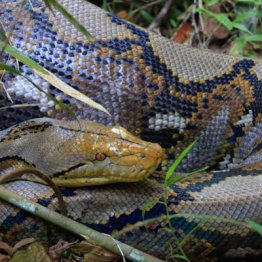ニシキヘビ逃走…ペット飼い主が絶対やってはいけないこと