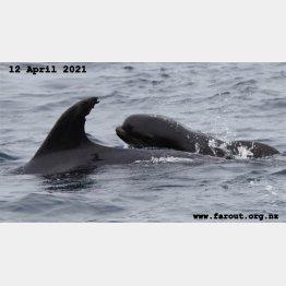体のサイズが…(ファーアウト海洋研究共同体のフェイスブックから=4月12日撮影)