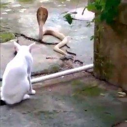 「この家に入るニャ!」インドで猫が毒蛇コブラの侵入を防ぐ