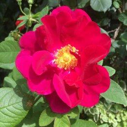 深紅の大輪の花をはんなりと咲かせたロサ・ガリカ・オフィキナリス(提供写真)