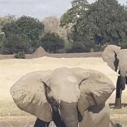 子象を救うため親象が巨大ワニを踏み潰す! ザンビアでデンマーク人が衝撃の目撃
